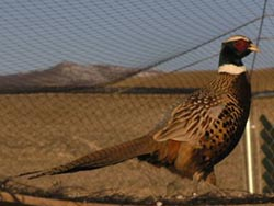 Chukar Hunting Nevada